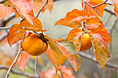 Persimmon (Kaki) fruit on tree at end of autumn