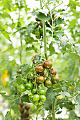 Hängende Tomatenrispe