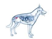 Dog bladder, illustration