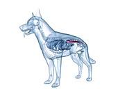 Dog colon, illustration
