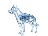 Dog pancreas, illustration