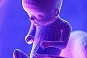 Foetus, week 16, illustration