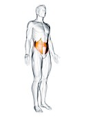Internal oblique muscle, illustration