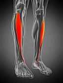 Tibialis anterior muscle, illustration