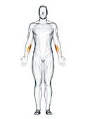 Flexor carpi radialis muscle, illustration