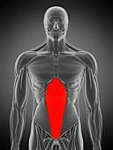 Transversus abdominis muscle, illustration
