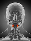 Depressor labii inferioris muscle, illustration