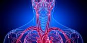 Blood vessels of the neck, illustration