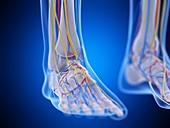 Foot anatomy, illustration