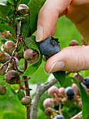 Picking a ripe blueberry