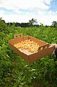 A box of freshly picked yellow raspberries
