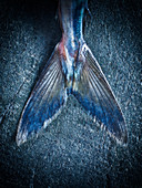 A mackerel fish tail against a blue background