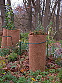 Winterschutz für Küchenlorbeer und Rosmarin im Garten