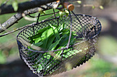 Freshly picked ramsons in wire basket hung from branch
