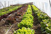 Salatanbau unter Plastikfolie