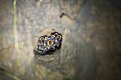 A tarantula in her cave in Selvatura Park, Monteverde, Costa Rica, Central America