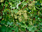 White wine grapes on a vine in a vineyard in Alsace