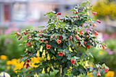 Schönmalve mit roten und gelben Blüten