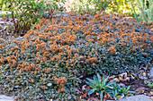 Braunrotes Stachelnüsschen 'Kupferteppich' (Acaena microphylla) als Bodendecker