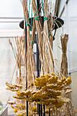 Goldgarbe (Achillea filipendulina) 'Coronation Gold' zum trocknen aufgehängt