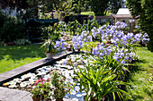 Afrikanische Schmucklilie am architektonischen Gartenteich mit Seerosen