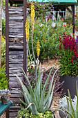 Echte Aloe blühend im Kübel