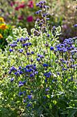 Blau blühende Kap-Ochsenzunge