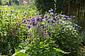 Blau blühende Akelei und Berg-Flockenblume