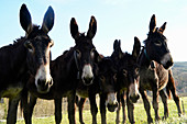 Donkeys in a field in the province of Girona, Catalonia, Spain