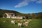 Cows in a field, Girona, Catalonia, Spain