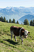 Cows in a meadow with a mountain panorama including Mount Rigi in the background, Lucerne, Switzerland