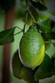 An unripe lemon on a tree