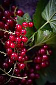 Rote Johannisbeeren am Zweig