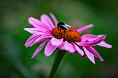 A bumblebee on an echinacea flower