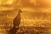 Agile wallaby at sunset