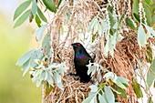Metallic starling in its nest