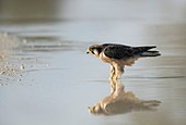 Lanner falcon in a pool of rainwater