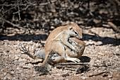 Ground squirrels being playful