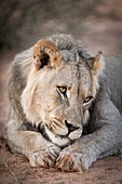 Young male lion in sombre mood