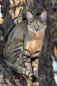 African wildcat in a camelthorn tree