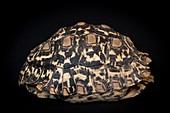Leopard tortoise shell
