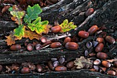 Oak acorns (Quercus robur)