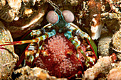 Female peacock mantis shrimp with eggs