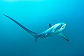 Thresher shark with blue streaked cleaner wrasse