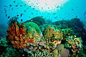 Hard corals and sponges Apo Island, Philippines