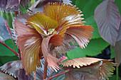Fire dragon (Acalypha wilkesiana 'Haleakala') plant