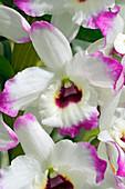 Dendrobium (Dendrobium 'Love Memory Fizz') flowers