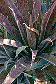Mangave (Agave 'Freckles and Speckles') plant