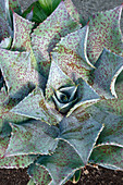 Sponge Paint mangave plant