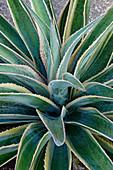Mangave (Agave 'Navajo Princess') plant